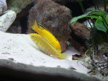 Labidochromis c. yellow