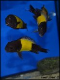 Tropheus sp. black Ikola
