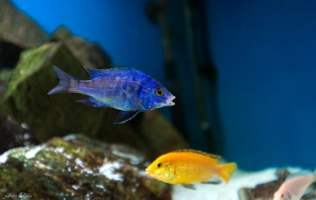 Placidochromis Mdoka White Lips