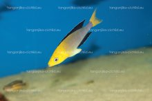 Cyprichromis leptosoma Yellow Head Kekese