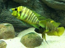 Lamprologus comp.yellow chaitika