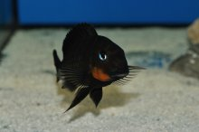 Tropheus mpimbwe red cheek WF