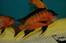 Petrochromis sp.red Bulu Point